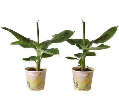 Bananen plant(Musa Tropicana)